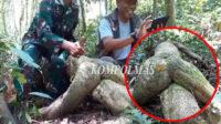 Sepit Kancing, destinasi wisata ekologi yang kaya flora dan fauna langka. Bunga Rafflesia dan Akar Dhayan juga bisa ditemukan di sini